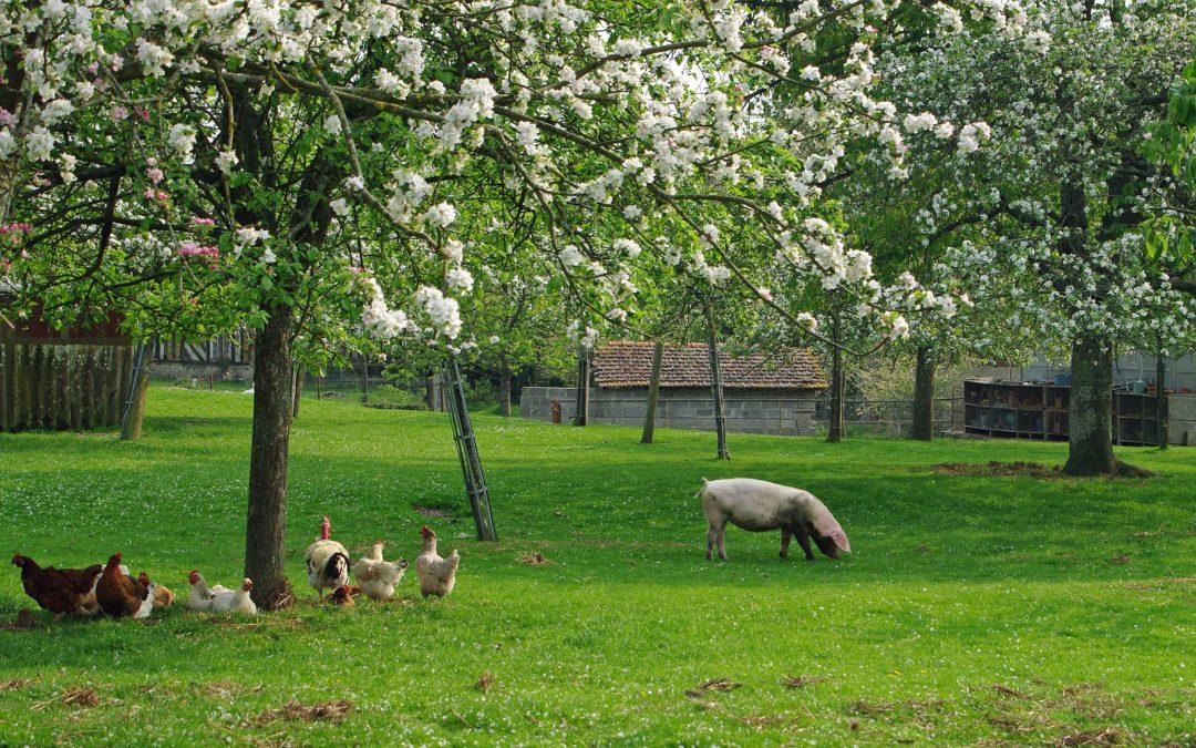 Salmonella en campylobacter bij pluimvee en varkens