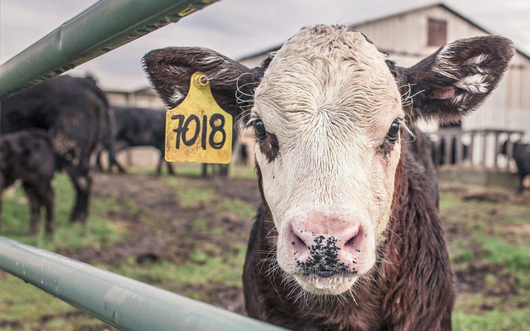 Keuring en andere officiële controles in runderslachthuizen